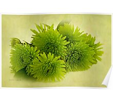 Green Spider Chrysanthemums Poster