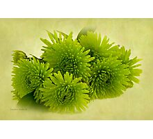 Green Spider Chrysanthemums Photographic Print