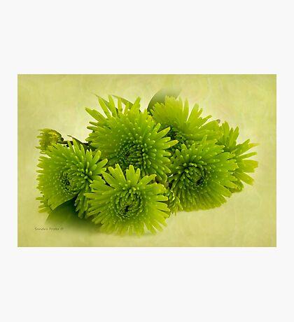 Green Spider Chrysanthemums Photographic Print