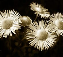Monochrome Flowers by Christina Rollo