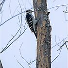 Downy Woodpecker by Jamie Cameron