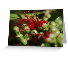 Callistemon flower Greeting Card