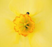 Daffodil lady by Bloom by Sam Wales