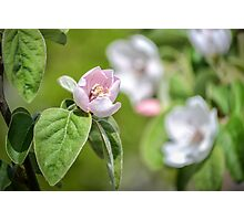 Quince Flowers Photographic Print