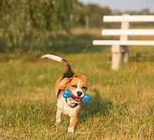Racing Roxie.... Beautiful Beagle... by mitpjenkeating