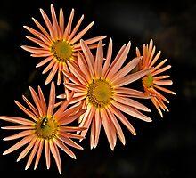 Orange Chrysanthemum by cclaude
