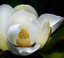 White Magnolia by cclaude