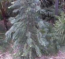 Wollemi Pine -  by AmandaWitt