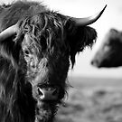 Highland Cow by Rob Parsons