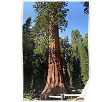 Giant Sequoia, Southern California, USA. Nature photograpgy. Poster