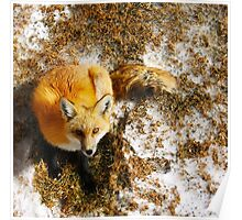 The Majestic Red Fox Poster