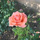 Summer Rose by kathrynsgallery