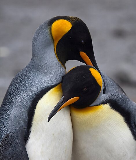 I Wuv You! (King Penguins, South Georgia) by Krys Bailey