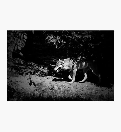 European grey wolf walking through the forest. Black and white moody photo Photographic Print