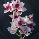 Cymbidium Orchids by DPalmer