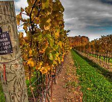 Sideways View of Pinot Noir Vineyard by Marilyn Cornwell