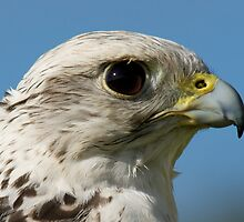 Close-up of gyrfalcon head against blue sky by Nick Dale