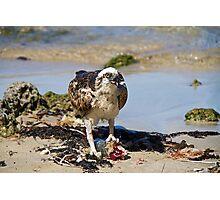 Wild Osprey with fish on beach Photographic Print