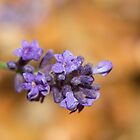 Lavender Bud by Ashley Beolens