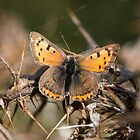 Small Copper by Ashley Beolens
