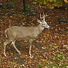 Whitetail Deer - Buck - Odocoileus virginianus - Autumn by MotherNature