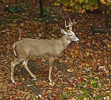 Whitetail Deer - Buck - Odocoileus virginianus - Autumn by MotherNature