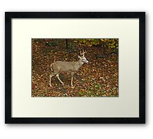 Whitetail Deer - Buck - Odocoileus virginianus - Autumn Framed Print