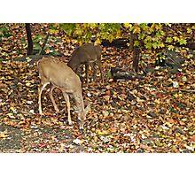 Young Whitetail Deer - Odocoileus virginianus - Autumn Photographic Print