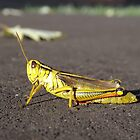 Cricket by Timothy  Ruf