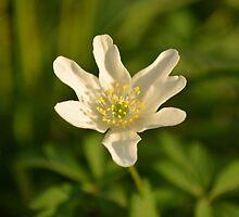 Wood anemone by barnymartin
