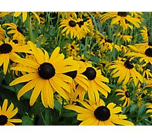Field of Yellow Flowers Photographic Print