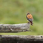 Kestrel On A Montana Fence Pole by Thomas Young