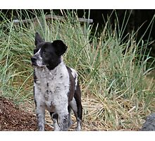 Noble Old Heeler (R.I.P. Ba'al 1996 - 2010) Photographic Print