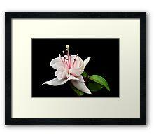 White Fuchsia. Framed Print
