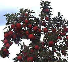 beautiful abundance of red delicious apples! by Maureen Zaharie