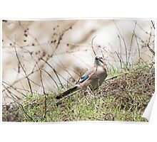 The bird. The Eurasian jay (Garrulus glandarius) among the lush grass Poster