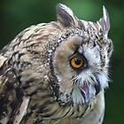 Long eared owl by DAVE SNEYD