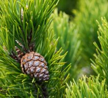 Cone on a green backrgound. Creeping pine also called as dwarf mountainpine: closeup background Sticker