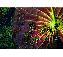 Cypress Swamp Lily Pad Photographic Print