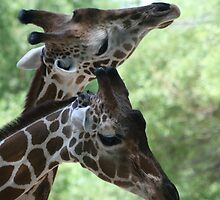 Necking Giraffes? by RichImage