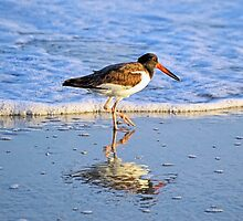 American Oystercatcher by Sharon Woerner