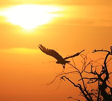 White-backed Vulture - Flying into the Sun. by LivingWild