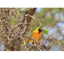 Golden Weaver - African Peace Symbol Photographic Print
