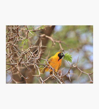 Golden Weaver - African Peace Symbol Photographic Print