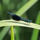 Banded Demioselle Damselfly by James  Key