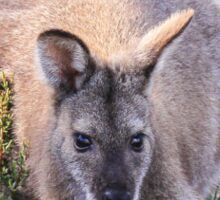 Lovely Wallaby Sticker