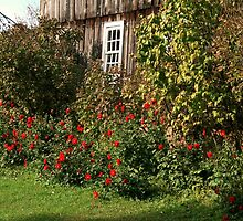 Roses Against The Old Barn by Geno Rugh