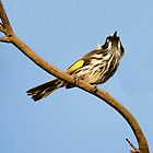 New Holland Honey-Eater - Spring Sky by Sandra Chung