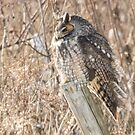 Long-eared Owl On Fence Post by Deb Fedeler