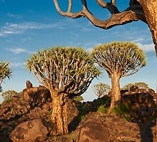Quiver tree forest, Aloe dichotoma by travel4pictures